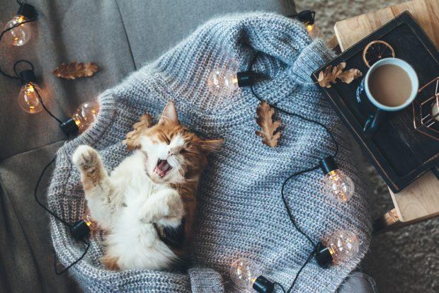 セーターに包まりあくびをする猫
