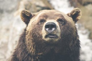 こちらを見つめる熊