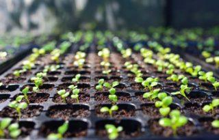 育苗トレーと芽を出す植物の苗