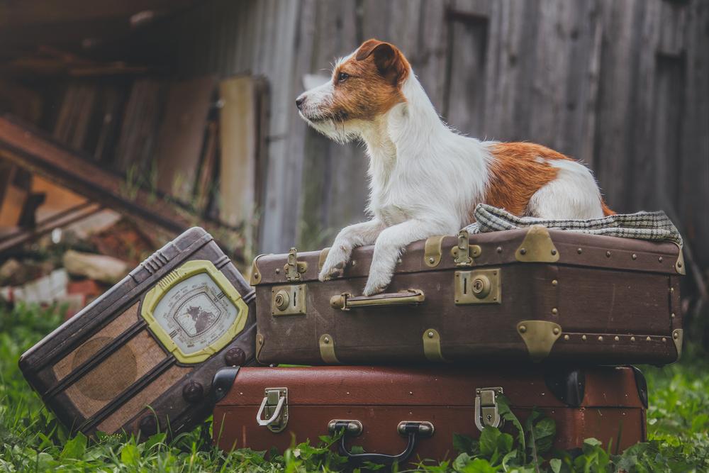 古びたスーツケースの上に座る犬