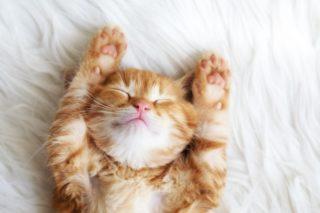 寝転んで両手を伸ばす可愛い猫