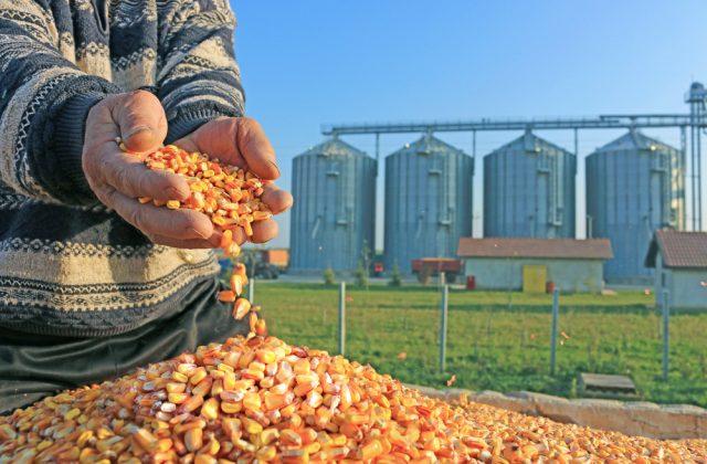 収穫したトウモロコシを手ですくう人